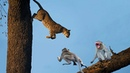 Monkey Struggled With Leopard To Save Fellow