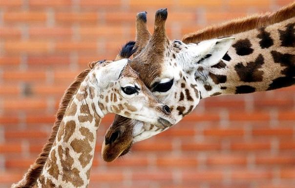 Новорожденный жираф Ротшильда с мамой в зоопарке города Либерец, Чехия.