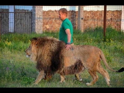 Настроение львов меняется ОЧЕНЬ БЫСТРО
