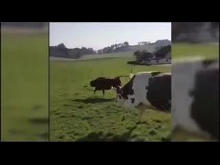 Как я сейчас завидую этим коровам