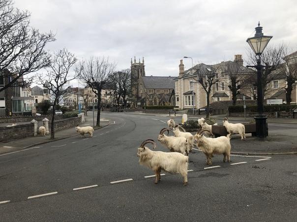 Дикие горные козлы оккупировали опустевшие из-за карантина улицы города Лландидно в Уэльсе По словам местных жителей, козлы и раньше приходили в город, но надолго не задерживались. Теперь,