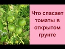 Помидоры в открытом грунте 🍅 Выращивание томата 🍅 Полив и подкормка