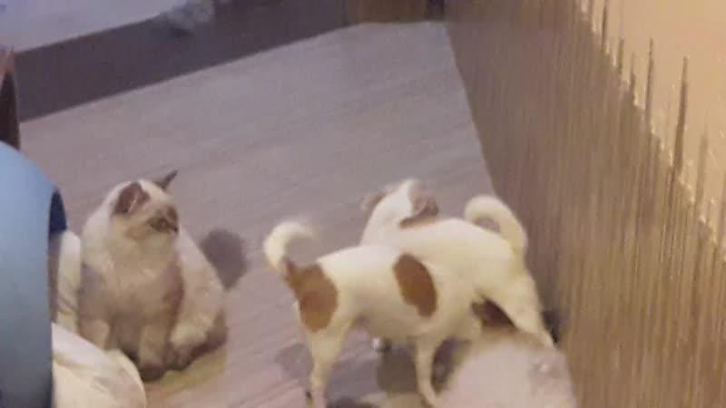 Чихуахуа и невские маскарадные кошки