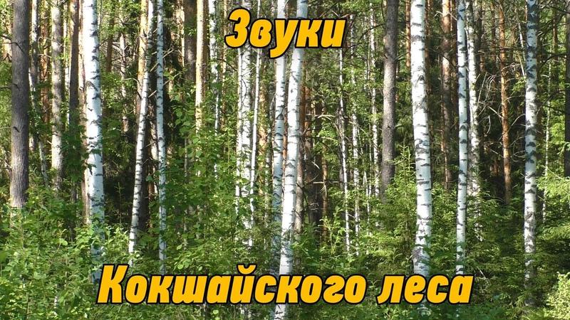 Звуки Кокшайского леса