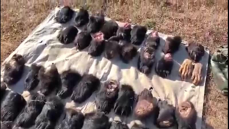 Браконьеры пытались вывезти из Приморья в Китай почти 50 лап гималайских медведе