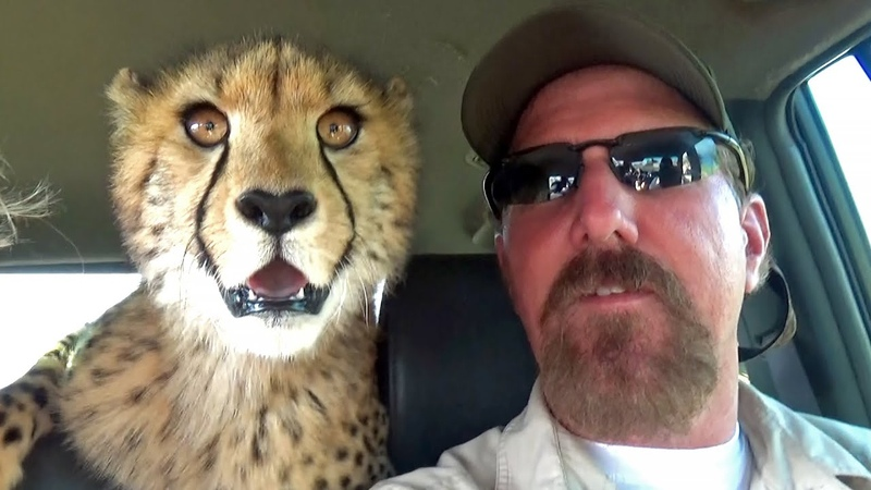 Hunting Wabbits | Cheetah Cubs Train Hunt Off Lead For Rabbits Hares On Open Range Game Farm