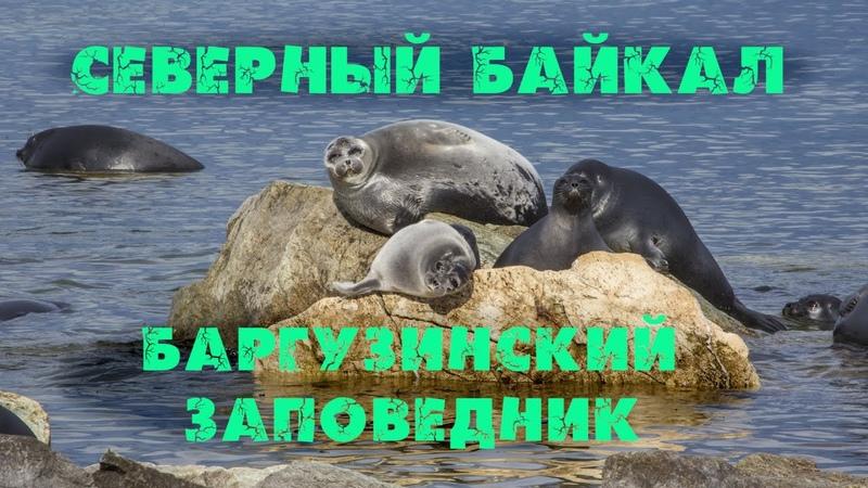 СЕВЕРНЫЙ БАЙКАЛ Медведи выходят на берег Нерпа один медведь съел другого Баргузинский заповедник