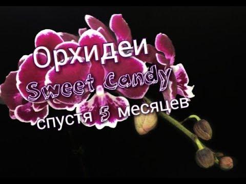 Орхидеи Sweet Candy в Цеофлоре спустя 5 месяцев. Полив перекисью водорода.