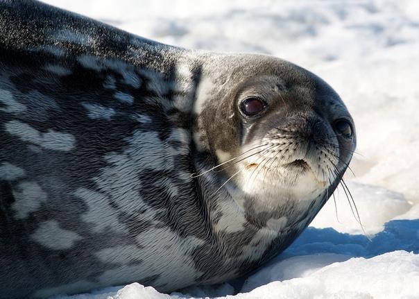 Тюлень Уэдделла. Этот тюлень примечателен во первых тем, что он живёт южнее всех млекопитающих. А во вторых ныряет глубже всех тюленей (на глубину до 600 метров) и может находиться под водой