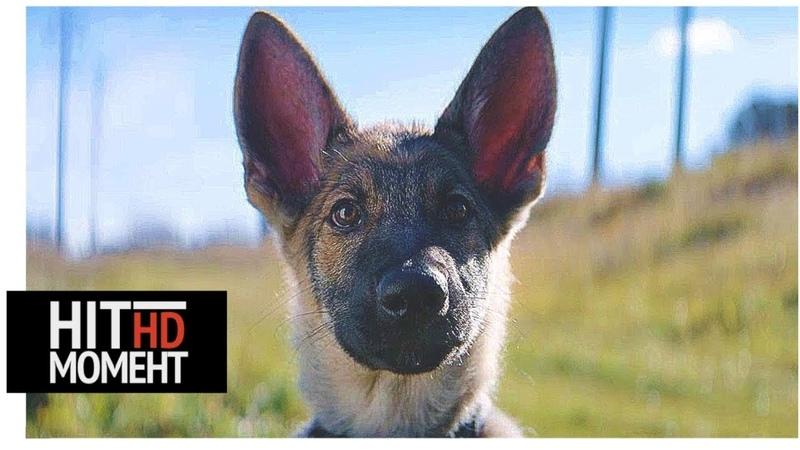 До СЛЕЗ Собака спасает полицейского ценою своей жизни Момент из фильма Собачья жизнь 2017