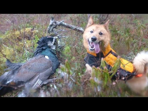 Карело финская лайка Кадр охоты на глухаря 2020