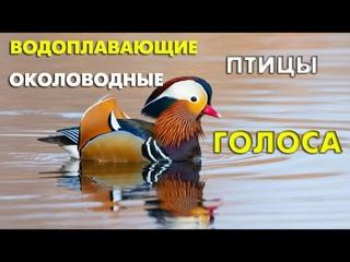 Водоплавающие и околоводные птицы и их голоса / Мини-определитель (Птицы России) #ГолосаПтиц