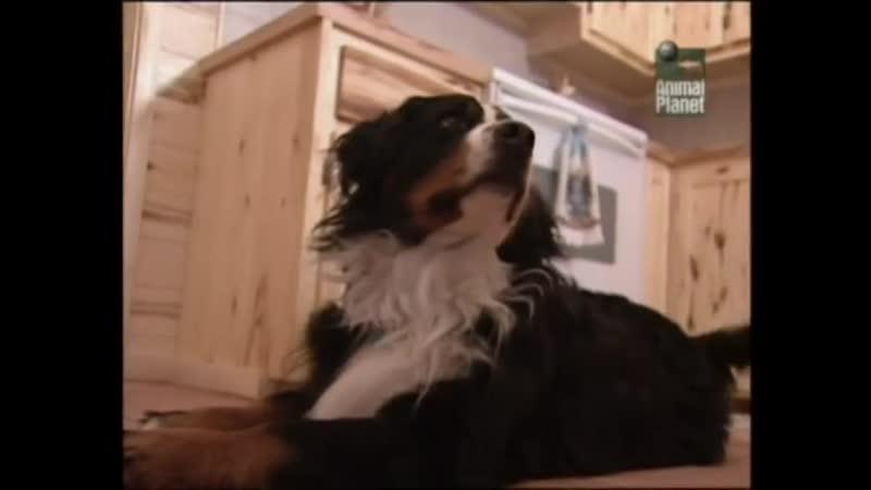 Всё о породе Бернская горная пастушья собака Бернский Зенненхунд