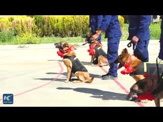 Собак из поисково-спасательных отрядов в Тибете отправляют на пенсию