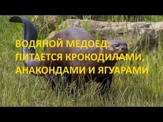 Обезбашенный братец медоеда из Бразилии: питается анакондами, крокодилами и ягуарами