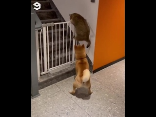 Пёс не даёт коту перелезть через ограждение