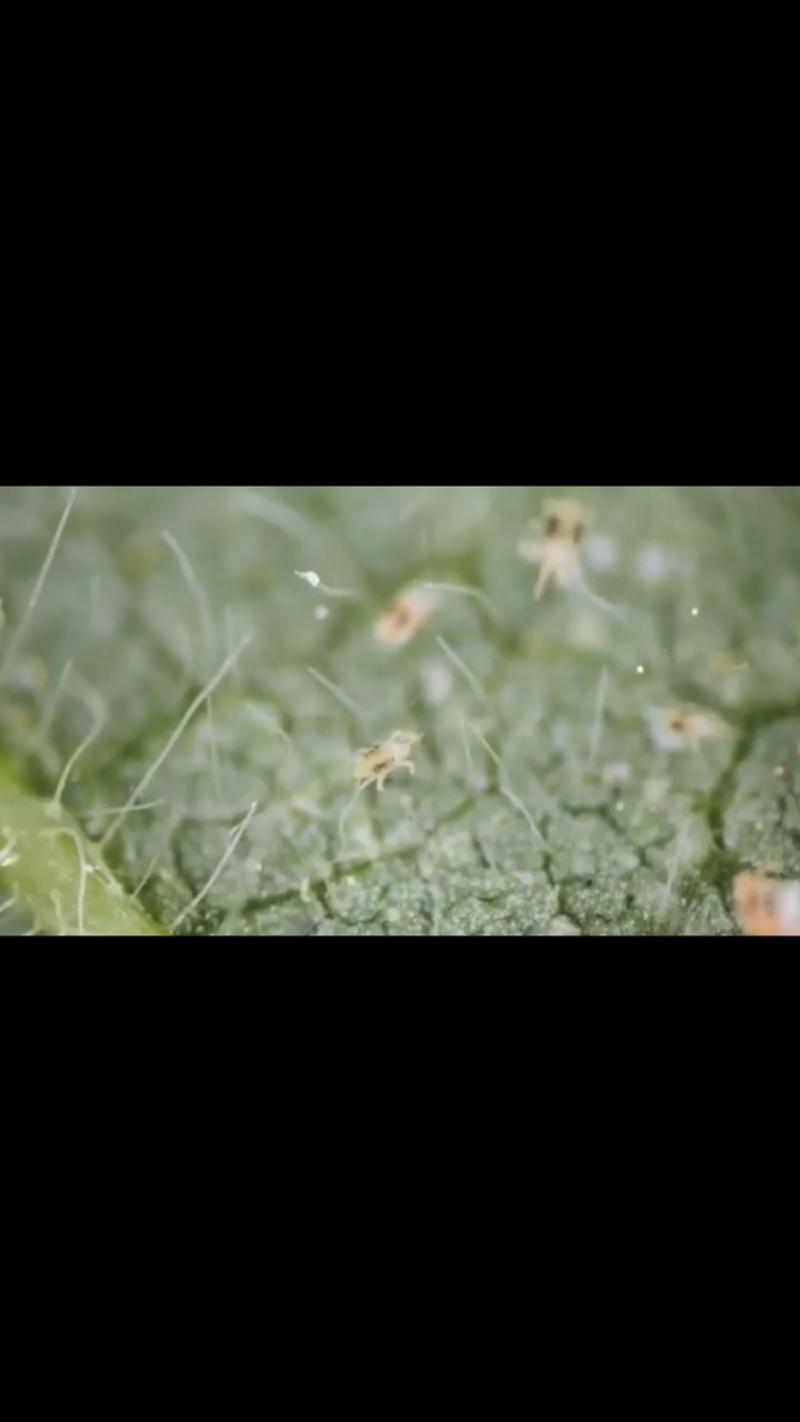 Фитосейлюс и паутинный клещ