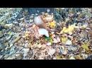 Белка готовит запасы на зиму