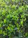 Немного о молодых сортах улунов Уишани, image #2