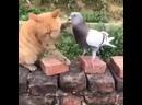 Батл. Смертельная битва хорошее настроение, юмор, смешное видео, голубь, птица, кошка, животное, драка, удар, укус, жестокость