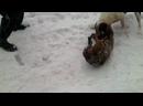 Собачий бой, черно белый питбуль убийца ПАРТ_4