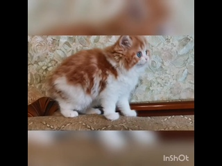 Кошка Хитти. Продажа. Красная  мраморная биколор