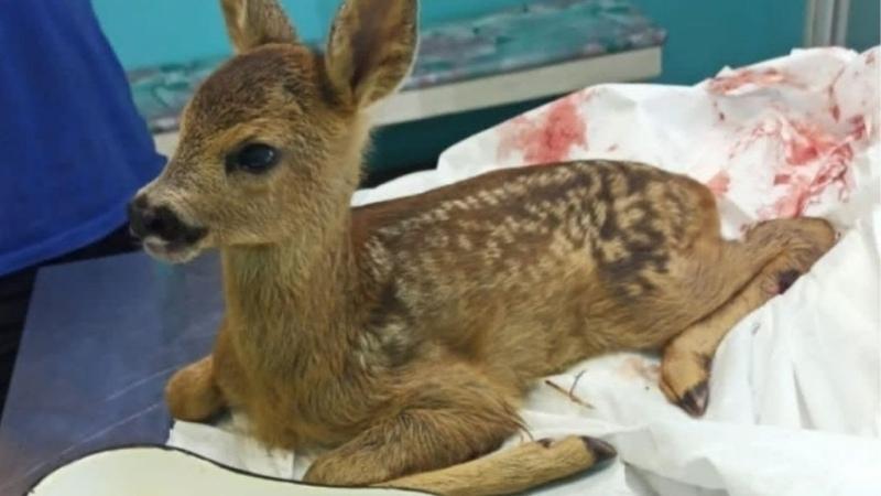 Без ноги и в тяжелом состоянии Малыша косули доставили в ветклинику