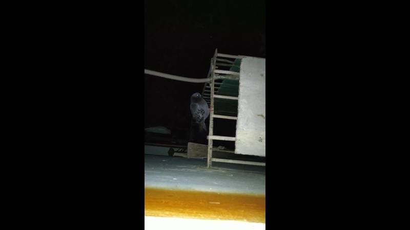 Выглянул посмотреть кто там мяукает оказалось голубь остался ночевать на балконе 🕊️🙀