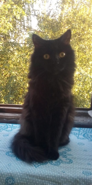 """""""Бюро пропаж""""  (фото 1) 19 октября с Приупской 10 убежала черная миниатюрная кошка. Длинная прямая шерсть,... [читать продолжение]"""