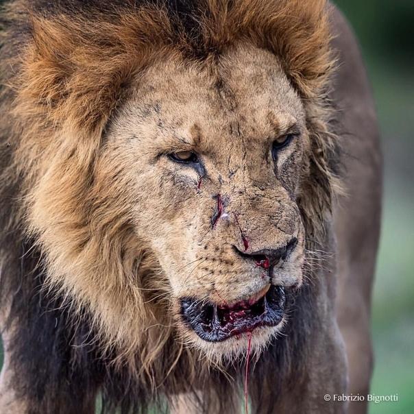 Картинка на словах ты лев