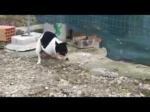 Pas navalio na kokoš )