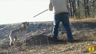 Волк лает!!!! Невероятно!! Спасение диких животных.