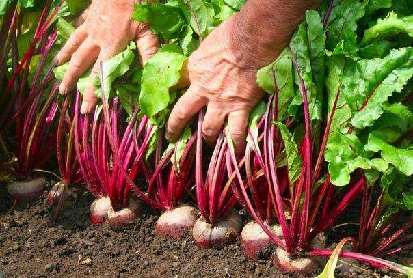 Как вырастить крупную, сочную и сладкую свеклу что надо сделать Как получить обильный урожай вкусной и сладкой свёклы Хотите вырастить суперурожай свёклы, уделяйте корнеплоду должное внимание в