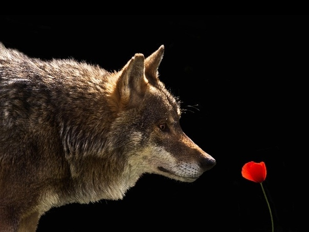 волк нюхает цветы фото никогда было так