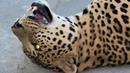 Вечер в Тайгане ! Волчата , леопарды , львята и их горящие в темноте глаза !