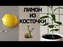 Как вырастить лимон из косточки.