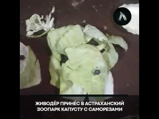 В Астрахани живодёр принёс в зоопарк капусту с саморезами | АКУЛА