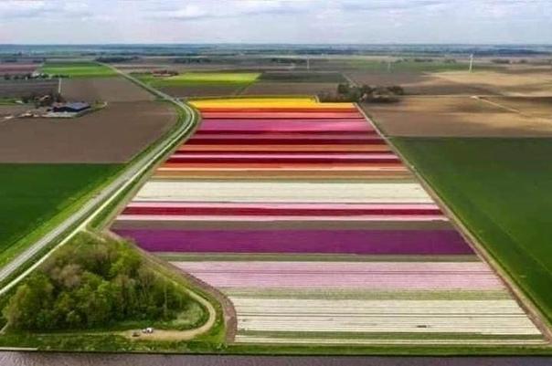В Голландии зацвели тюльпаны!