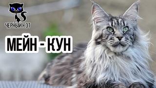 ✔  Мейн-кун, плюсы и минусы породы. Стоит ли заводить эту кошку?