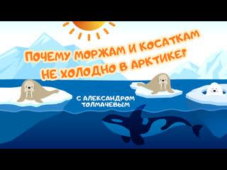 Почему моржам и косаткам не холодно в Арктике? С Александром Толмачевым
