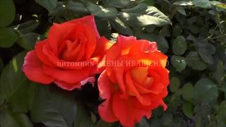 Роза МОНИКА уже цветёт. Питомник ЕЛЕНЫ ИВАЩЕНКО