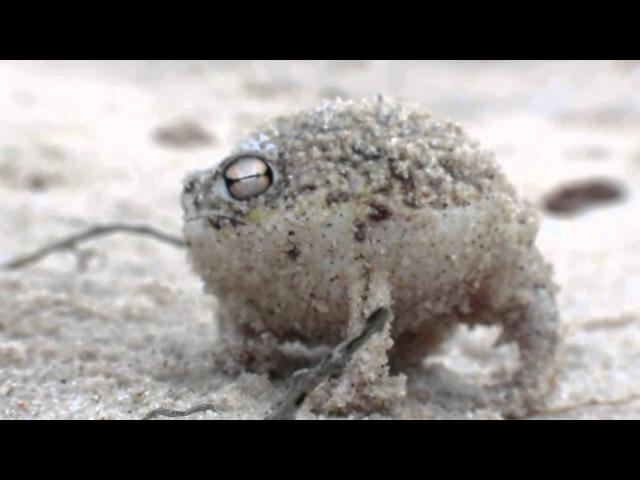 Namaqua rain frog More Bass